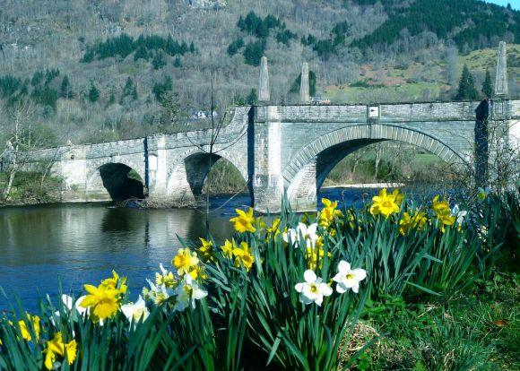 Daffodils in Aberfeldy