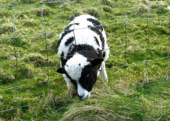 Highland Lamb