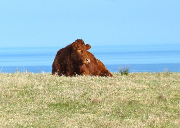 A Cow on the Isle of Skye